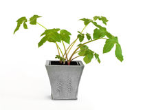 Angelica Herb. Plant in a pewter pot, over white background royalty free stock photography