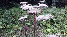 Angelica, medicinal herb stock video footage