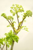 Angelica, medicinal plant Stock Photography