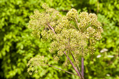 Angelica medicine plant and food Royalty Free Stock Images