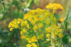 Angelica officinalis Moench . Israel Royalty Free Stock Photography