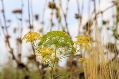 Angelica officinalis Moench . Israel Stock Photos