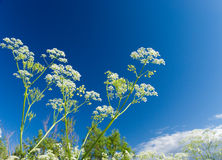 Angelica plan. Close-up Stock Images