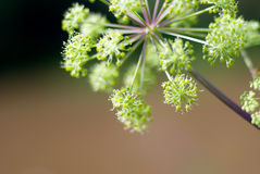 Angelica plan. Close-up . Stock Photography