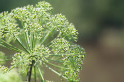 Angelica plan. Close-up Stock Photos