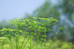 Angelica plan. Close-up Royalty Free Stock Photos
