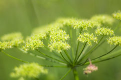 Angelica plan. Close-up stock image
