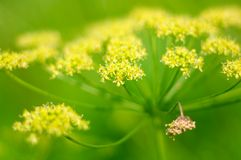 Angelica plan. Close-up Royalty Free Stock Images