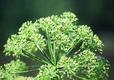 Angelica plan. Close-up Royalty Free Stock Image