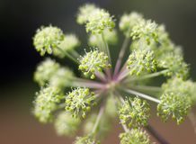 Angelica plan. .Shallow depth-of-field Royalty Free Stock Photos