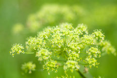 Angelica plan. summer Stock Images