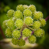 Angelica plant. A beautiful specimen of seacoastal angelica. Shallow focus stock photos