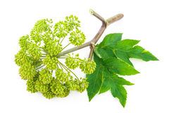 Angelica plant. On white background stock photo