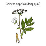 Angelica sinensis, or dong quai, or female ginseng - medicinal herb. Hand drawn botanical vector illustration Royalty Free Stock Photos