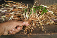 Angelica sinensis in hands Stock Images
