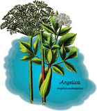 Angelica royalty free stock photography
