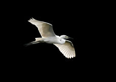 Angelical egret Royalty Free Stock Image
