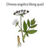 Angelika sinensis oder Dong-quai oder weibliches Ginseng - medizinisches Kraut lizenzfreie abbildung