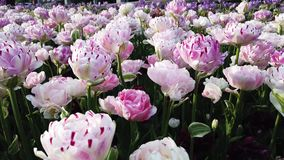 Angelique Tulips-tuin in de lente stock footage