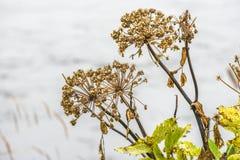 Angelnica d'automne sec vers le haut de l'élevage en Islande Images stock