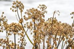 Angelnica d'automne sec vers le haut de l'élevage en Islande Image libre de droits