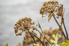Angelnica d'automne sec vers le haut de l'élevage en Islande Photographie stock