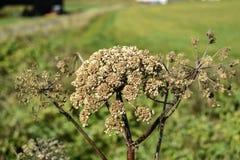 Angelnica d'automne sec vers le haut de l'élevage en Islande Photo libre de droits