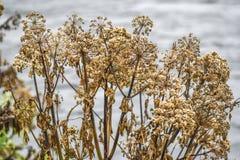 Angelnica do outono secado acima do crescimento em Islândia Foto de Stock