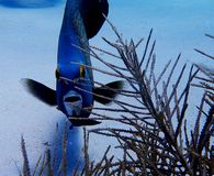 Angelo di mare francese il Bonaire fotografia stock