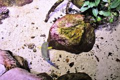 Angelo di mare a vita di mare Arizona, acquario a Tempe, Arizona, Stati Uniti immagine stock libera da diritti