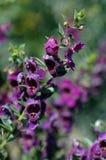 Angelonia angustifolia Fotografia Royalty Free