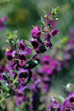Angelonia angustifolia. Closeup of a single stem of Angelonia, also called Summer Snapdragon, against a colourful blurred nature background Royalty Free Stock Photography