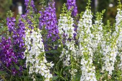 Angelonia flower Stock Images