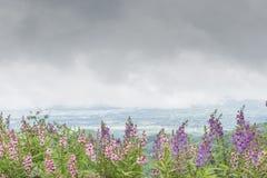 Angelonia flower Stock Image