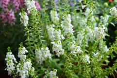 Angelonia Royalty Free Stock Image