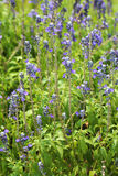 Angelonia. Goyazensis Bent and leaf Royalty Free Stock Images