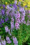 Angelonia goyazensis Benth flower Royalty Free Stock Photos