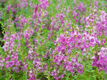 Angelonia goyazensis flowers Royalty Free Stock Photos
