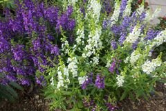 Angelonia kwiat Obrazy Royalty Free