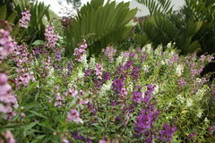 Angelonia Stock Photos