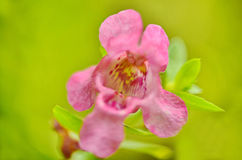 Angelonia Stock Images
