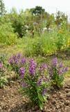 Angeloniainstallaties met mauve bloemblaadjes in een de zomertuin Stock Afbeeldingen