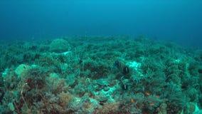 Angelotes en un arrecife de coral metrajes
