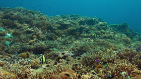 Angelotes en un arrecife de coral almacen de video