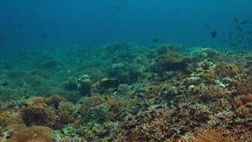 Angelotes en un arrecife de coral almacen de metraje de vídeo