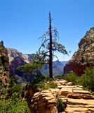 Angels landing tree Royalty Free Stock Image