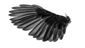 Angel wings, natural black wing plumage with clipping part. Angels wings, natural black wing plumage with clipping part Royalty Free Stock Image