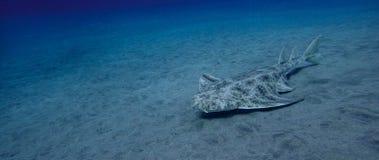 Angelshark über Sand im blauen Ozean lizenzfreie stockfotos