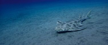 Angelshark over sand in blue ocean. In canary island royalty free stock photos