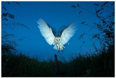 Angelus Mortis. The final sight a prey will see as a Barn Owl swoops to kill. Tyto Alba. England Royalty Free Stock Photo